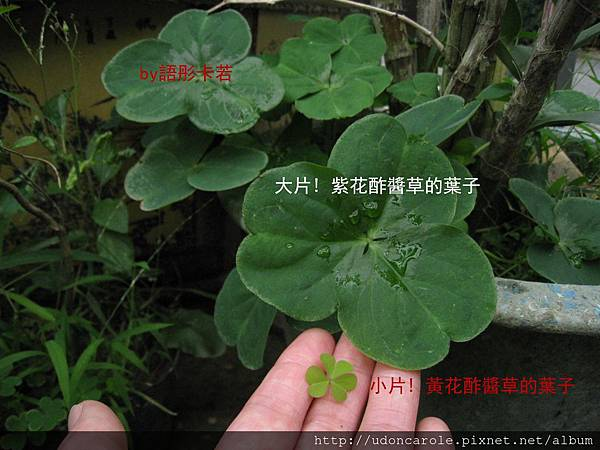 紫花與黃花酢醬草的葉子大小的差異.jpg