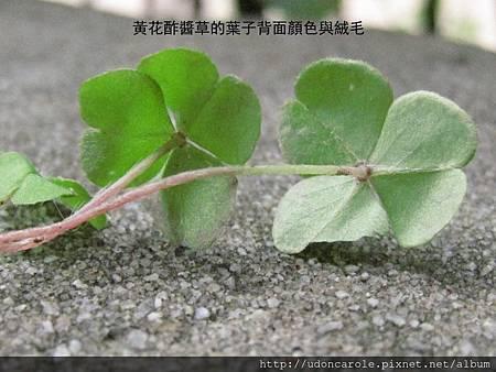 黃花酢醬草的葉子背面顏色與絨毛.jpg