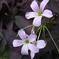 紫葉酢醬草的紫花和紫花酢醬草的花很像.jpg