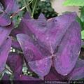 紫葉酢醬草的葉子.jpg