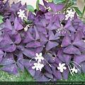 紫葉酢醬草的葉子呈紫色倒三角形狀.jpg