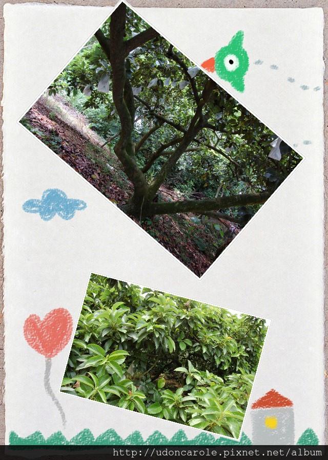 酪梨樹.jpg