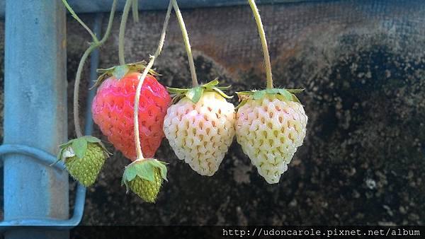 草莓果成熟一二三