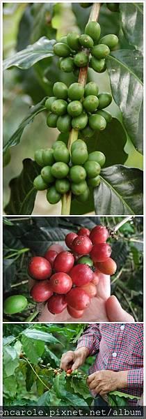 綠果紅果採收.jpg