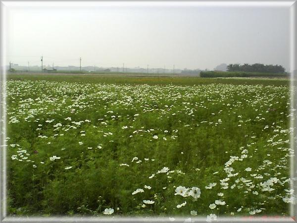 白色波斯菊1.jpg