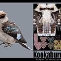 bird-Kookaburra01