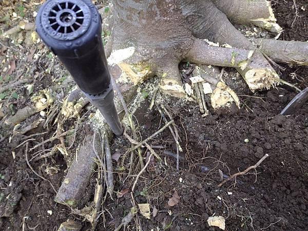 1030301樹林大安尊邸社區-高空植栽移植工程-施工中1