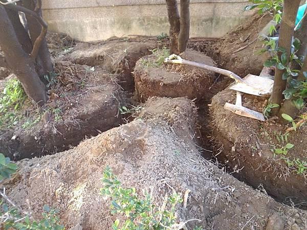 1030301樹林大安尊邸社區-高空植栽移植工程-施工中2