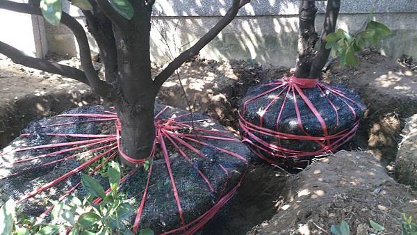1030301樹林大安尊邸社區-高空植栽移植工程-施工中6