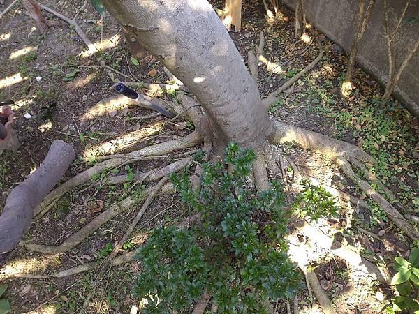 1030301樹林大安尊邸社區-高空植栽移植工程-施工前