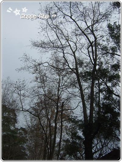 沿路的「槭」樹~不是楓樹哦!