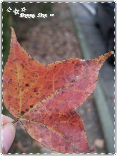 秋後~槭樹葉落滿地~