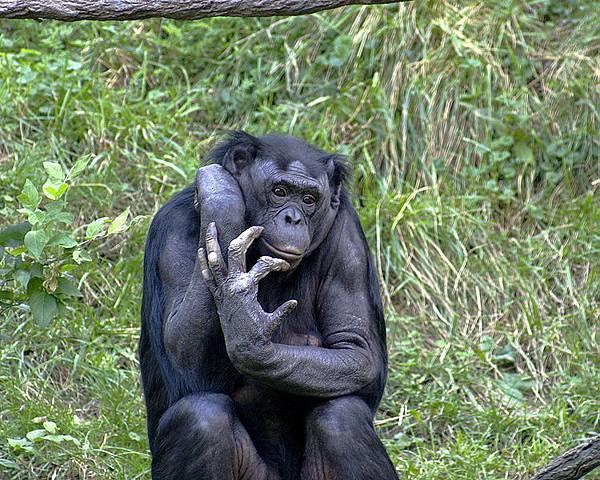 Bonobo巴諾布猿.jpg