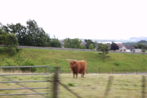 路邊的高地牛