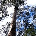 Bicentennial-Tree-17.JPG