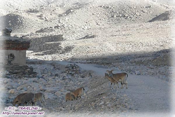 前往珠峰大本營-遇見岩羊群_04