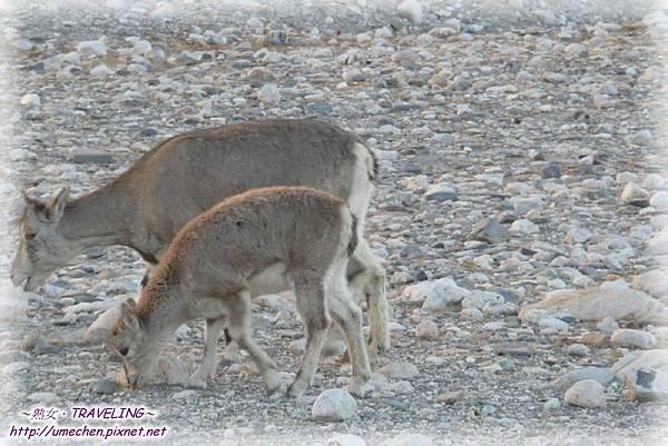 前往珠峰大本營-遇見岩羊群_05