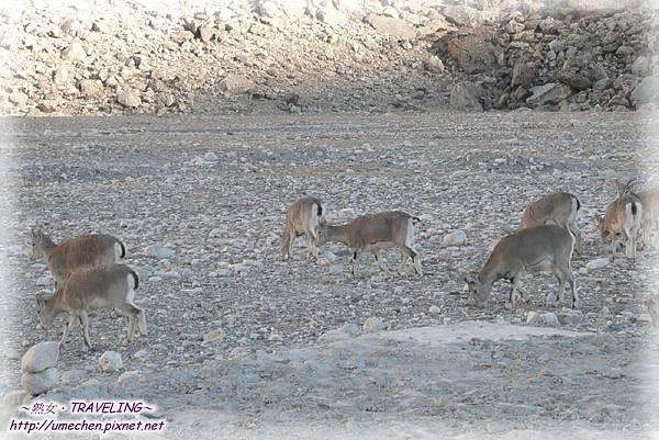 前往珠峰大本營-遇見岩羊群_07