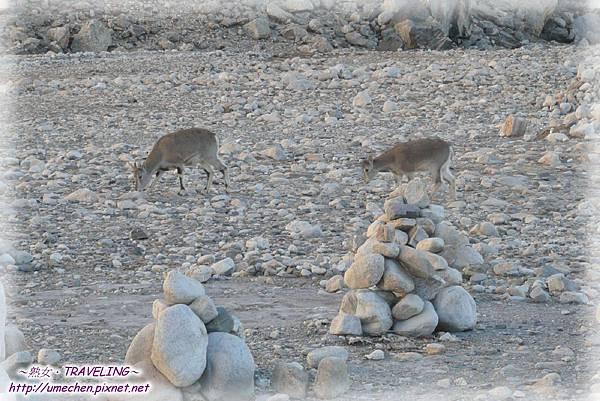 前往珠峰大本營-遇見岩羊群_09