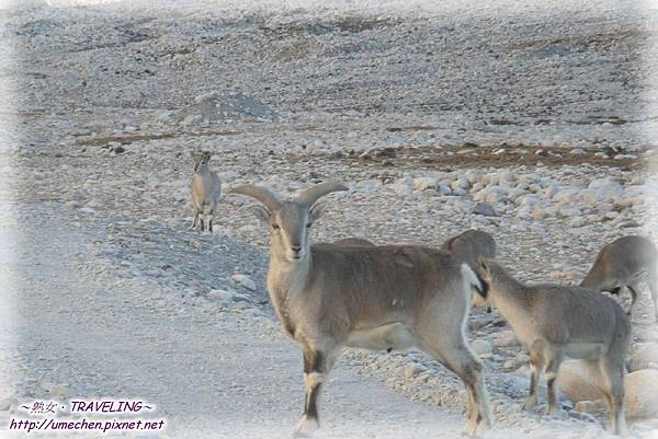 前往珠峰大本營-遇見岩羊群_11