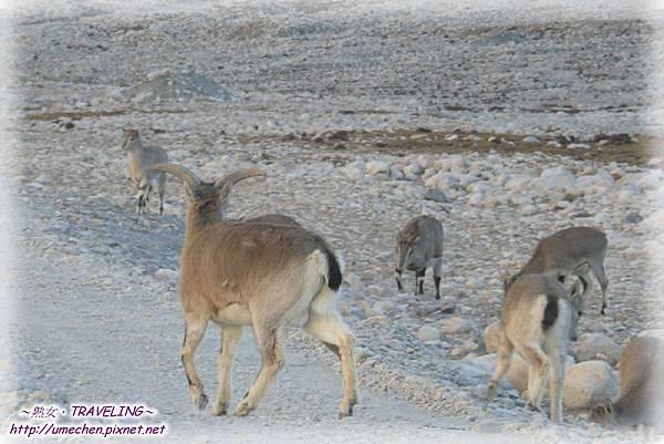 前往珠峰大本營-遇見岩羊群_12
