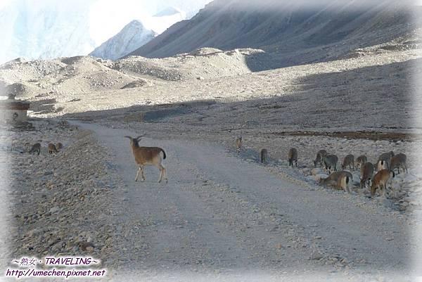 前往珠峰大本營-遇見岩羊群_13