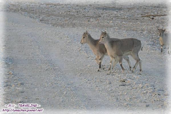 前往珠峰大本營-遇見岩羊群_16