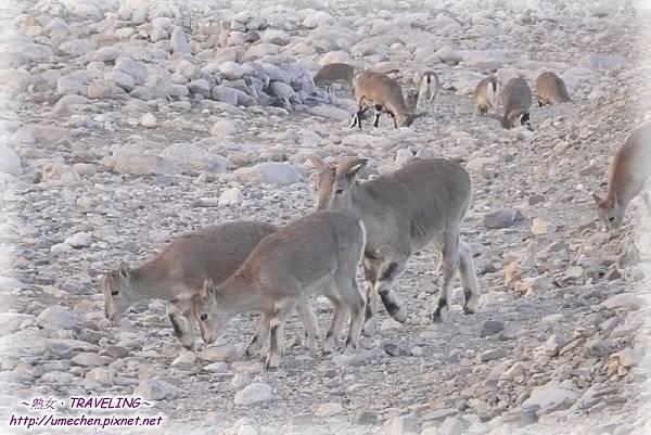 前往珠峰大本營-遇見岩羊群_18