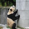 3b-臥龍熊貓-這牆有點難爬.jpg