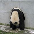 3c-臥龍熊貓-看我怎樣出洞口.jpg