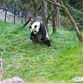 3e-臥龍熊貓-被壓平的草都是我滾的痕跡.jpg