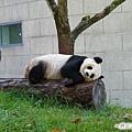 4p-臥龍熊貓-偶都是側睡的啦.jpg