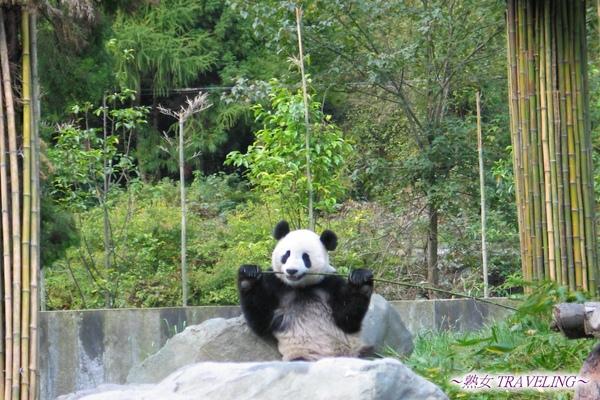 33-臥龍熊貓-吃箭竹像在啃甘蔗.jpg