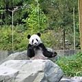 34-臥龍熊貓-箭竹吃不停.jpg