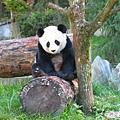 54-臥龍熊貓-這張可看到眼睛.jpg