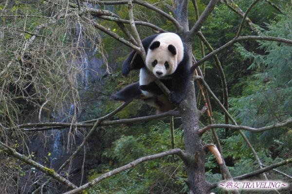 3u-臥龍熊貓-爬樹-驚見15公尺高樹上會爬樹的大玩偶.jpg