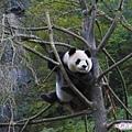 3w-臥龍熊貓-爬樹-在樹上微笑.jpg