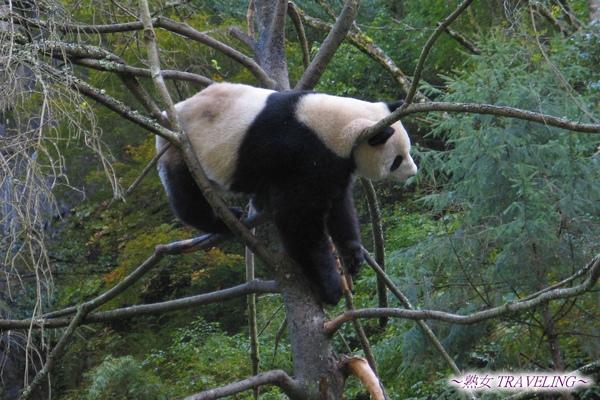 3z-臥龍熊貓-爬樹-頭掛在樹枝上才不會掉下去.jpg