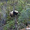 41-臥龍熊貓-爬樹-使勁全力就是要爬過去.jpg