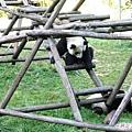 4c-臥龍熊貓-幼兒園-呀~會爬不會下.jpg