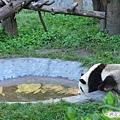 4j-臥龍熊貓-幼兒園-人家渴了要喝水啦.jpg