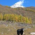 雙橋溝-草原上的犛牛(2.jpg