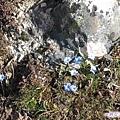 海子溝--石旁的小小藍花.jpg