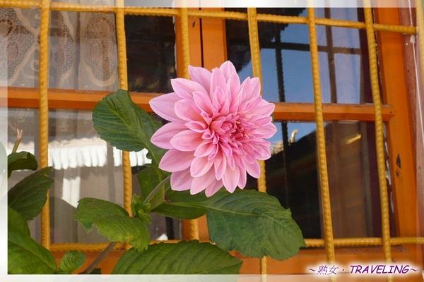 大昭寺-佛殿2樓-僧舍窗前的大理花.jpg