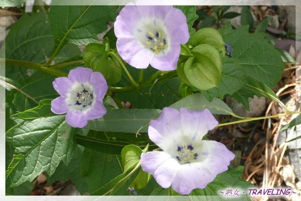拉薩的悠閒午後-拉薩常見野花(3.jpg