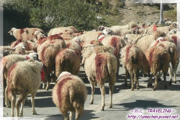 開始走S307-羊身上的顏色記號,可以識別是誰家的羊.jpg