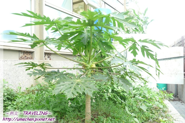 公司的菜園-種矮種木瓜.jpg