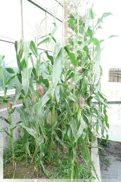 公司的菜園-種玉米1.jpg