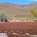 桑堆鄉-紅草地(8)攝影家喜愛來拍這紅紅的一片.jpg