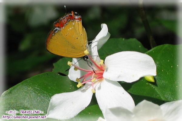 燒炭窩古道-桐花與蝴蝶(2.jpg